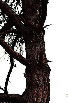 Gnarly Pine - 1 by Robert Morin