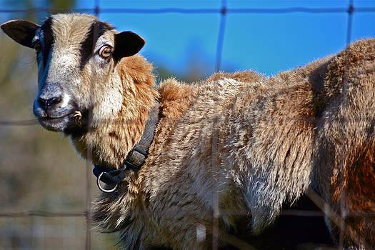 Bill Owen - Goat Portrait