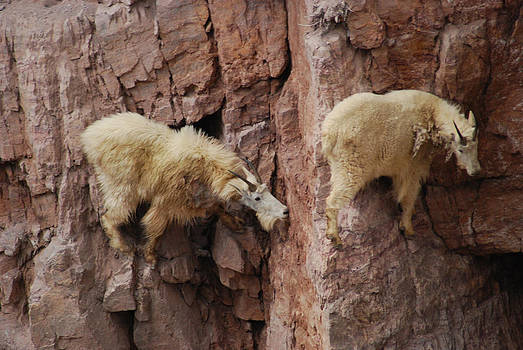Goats on Rocks by Wanda Jesfield