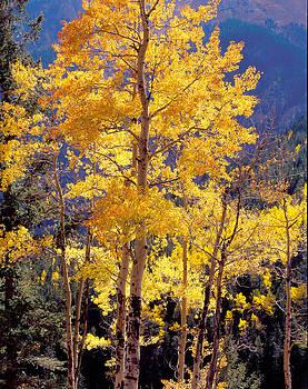 Nathan Mccreery - Golden Aspens  American Basin