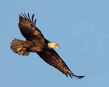 Golden Bald Eagle by Glenn Lawrence