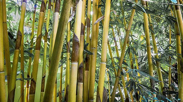 Roy Foos - Golden Bamboo