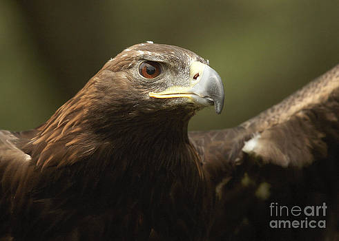 Golden Eagle by Doug Herr