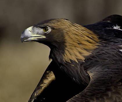 Golden Eagle portrait by Kenneth Eis