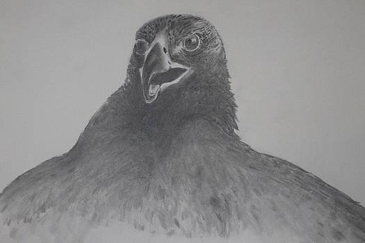 Golden Eagle by Ralph Hecht