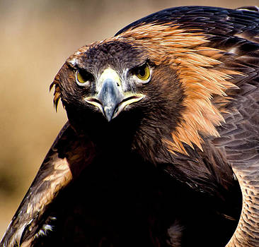 Golden Eagle Stare by Kenneth Eis