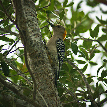Golden Fronted Woodpecker by Jake Johnson