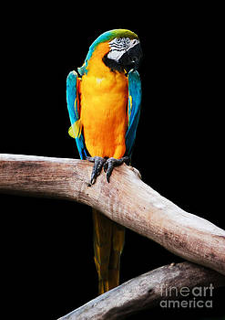 Golden Macaw by Pete Reynolds