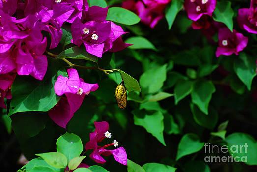 Golden pupa by Saajid Abuluaih