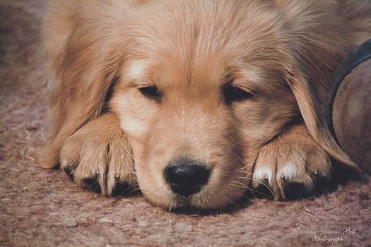 Darlene Bell - Golden Retriever Puppy Face