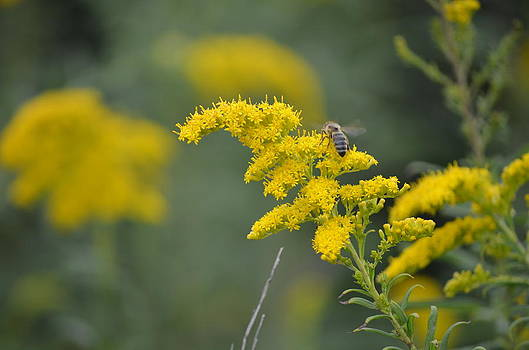 Golden Rod with Honeybee by Jennifer  King