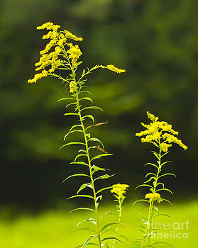 Goldenrod by Pat Carosone