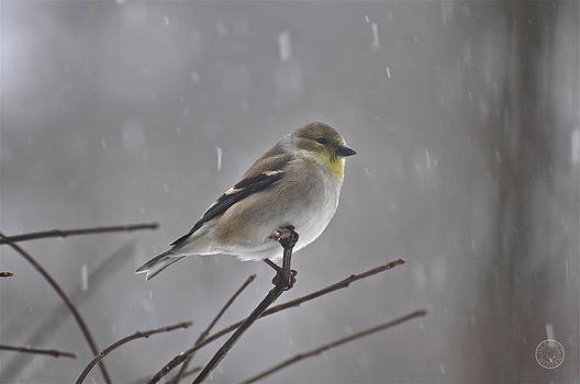 Goldfinch in the snow by Healing Woman