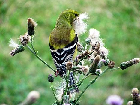 Goldfinch in the Thistle plant by Corinna Garza