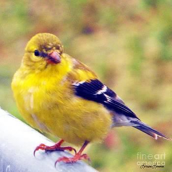 Goldfinch by Lorraine Louwerse