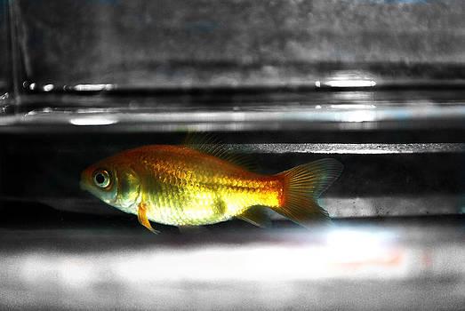 Goldfish by Daphne Duddleston