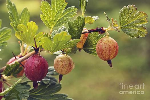Gooseberry by Wedigo Ferchland