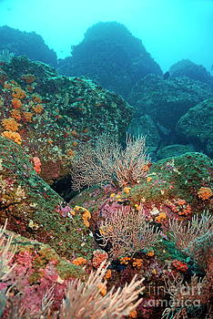 Sami Sarkis - Gorgonian fans and Cup Coral on rocky seabed