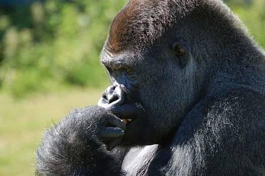 Gorila by Ademola kareem oshodi