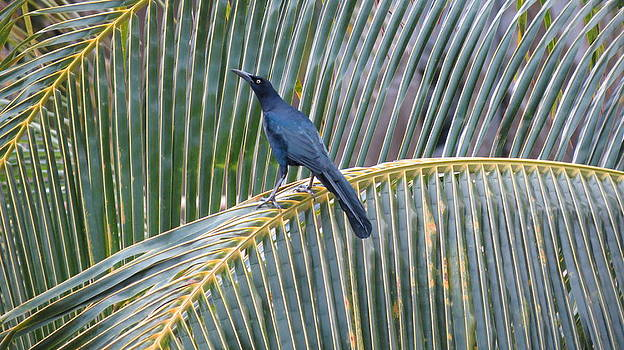 Grackle by Keith Rohmann
