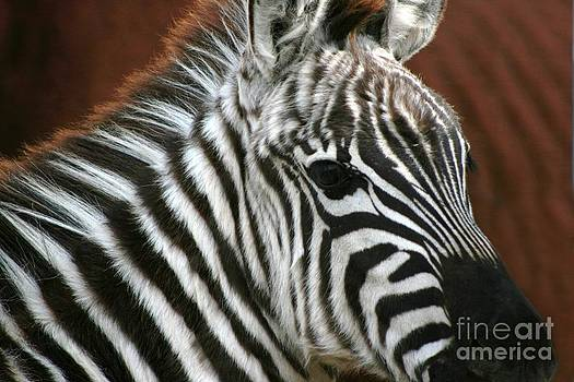 Grant Zebra by Lori Bristow