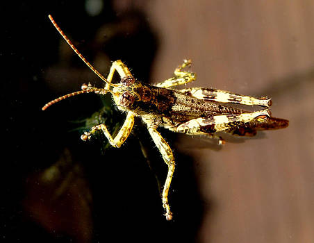 Amalia Jonas - Grasshopper