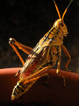 Grasshopper by Barbara Porto