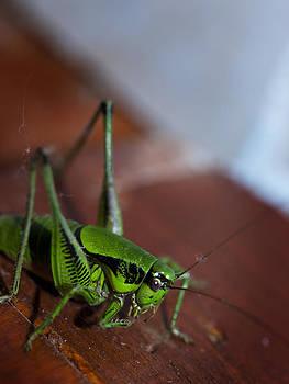 Grasshopper by Domagoj Borscak