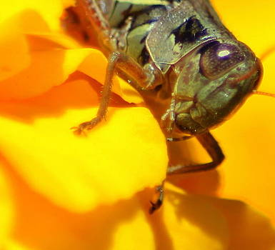 Grasshopper on Yellow by Maureen  McDonald