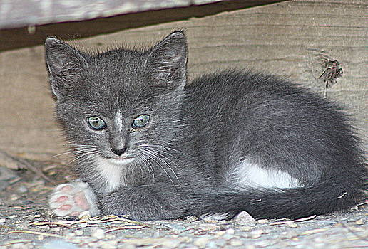 Gray Kitty by Rosa Shannon