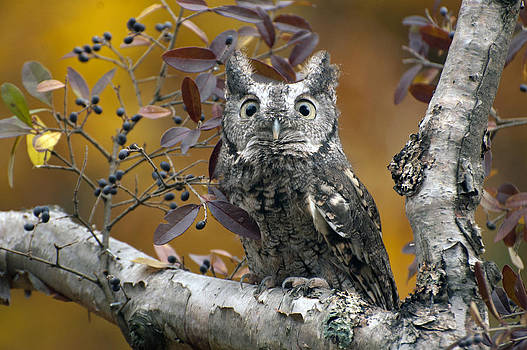 Gray screech owl by Cheryl Cencich