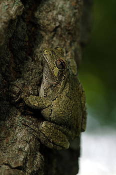 Gray Treefrog by Dick Todd