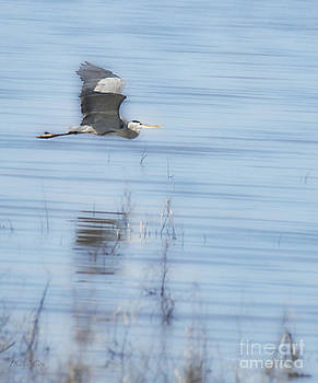 Diana Cox - Great Blue Heron Aloft
