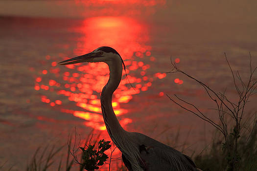Great Blue Heron at Sunset by Phil Lanoue