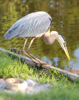 Great Blue Heron Hunting by Tracey R Gates