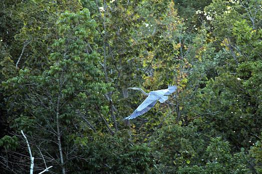 Great Blue Heron in Flight by James Hammen
