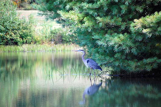Great Blue Heron in Pines by Mary McAvoy