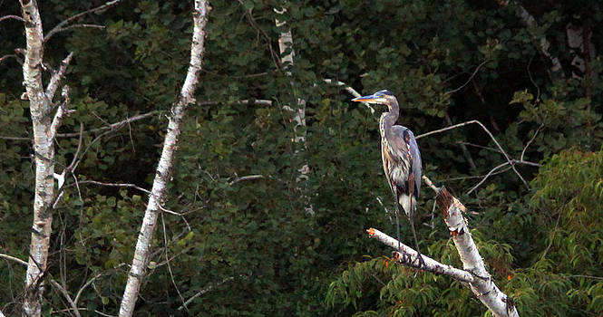 Great Blue Heron  by James Hammen