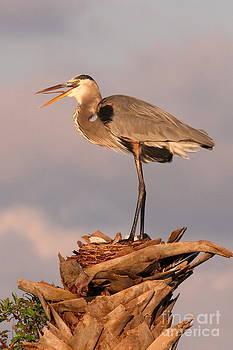 Great Blue Heron by Jennifer Zelik