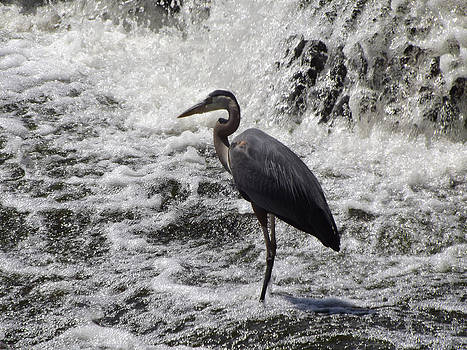 Great Blue Heron by Jim Beattie