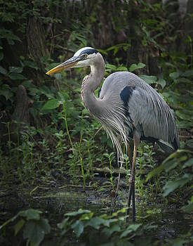 Terry Shoemaker - Great Blue Heron posing