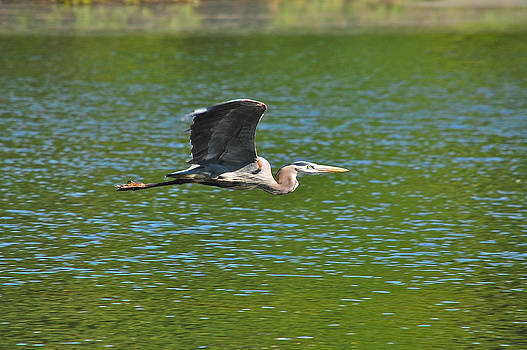 Great Blue Heron Reaching Cruise Altitude by Mary McAvoy