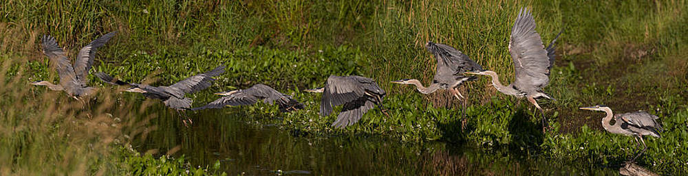 Great Blue Heron taking off by Ian Forsyth