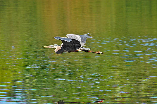 Great Blue Heron With Confidence by Mary McAvoy