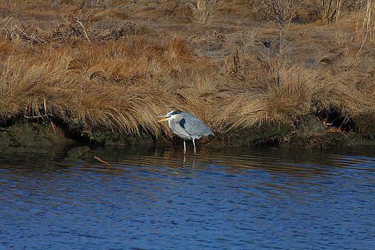 Great Blue Heron7 by George Miller