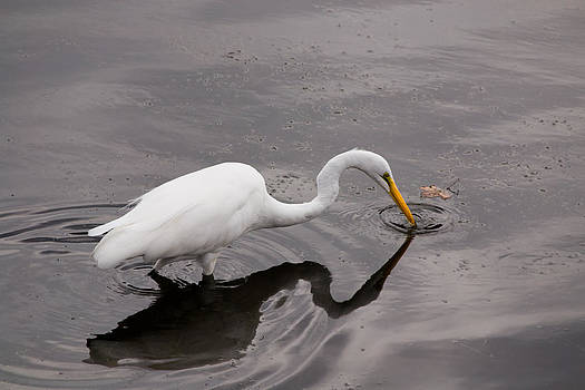 Mike Shaw - Great Egret