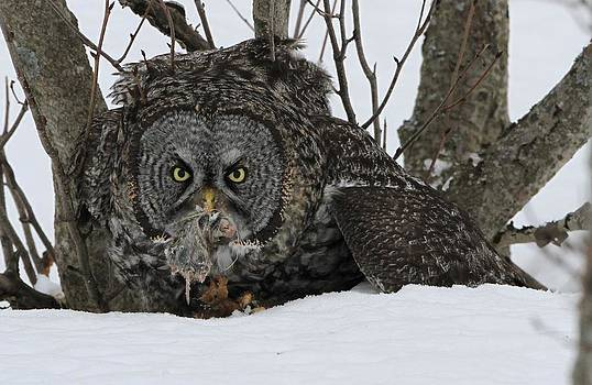 Great Gray Owl and Prey by Sam Amato