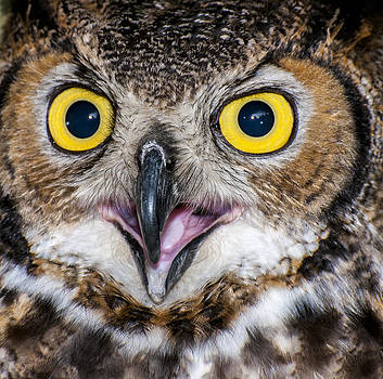 Great Horned Owl Close-Up 2 by Ray Downs