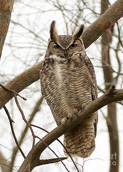 Great Horned Owl by Doug Herr