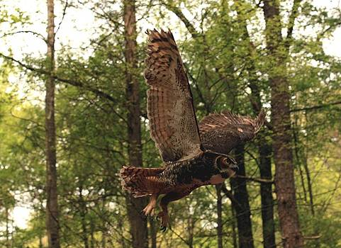 Great Horned Owl  by Doug McPherson